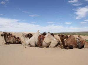 Camels in the gobi